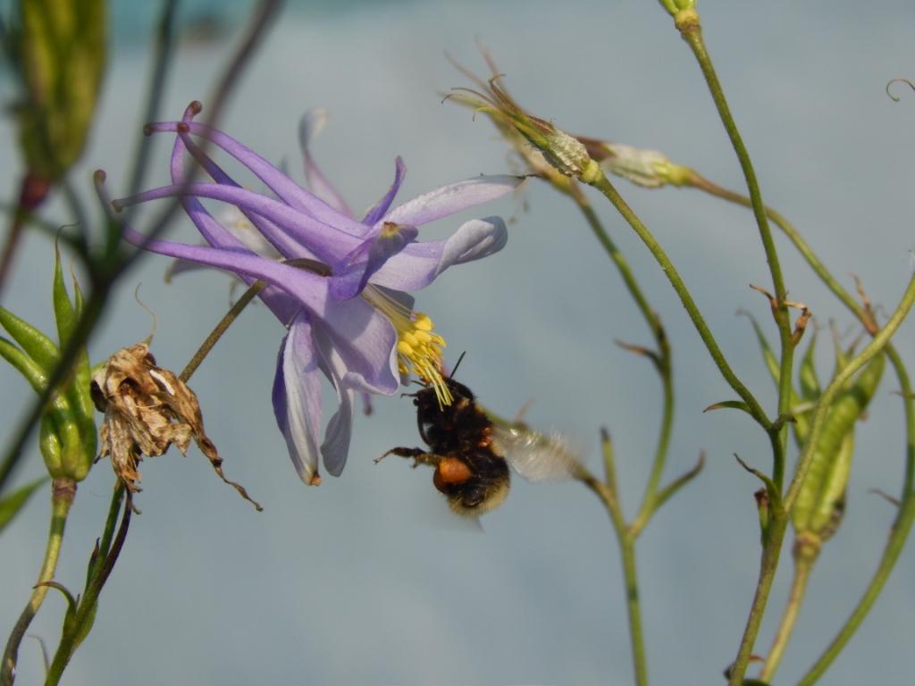 лето пчела